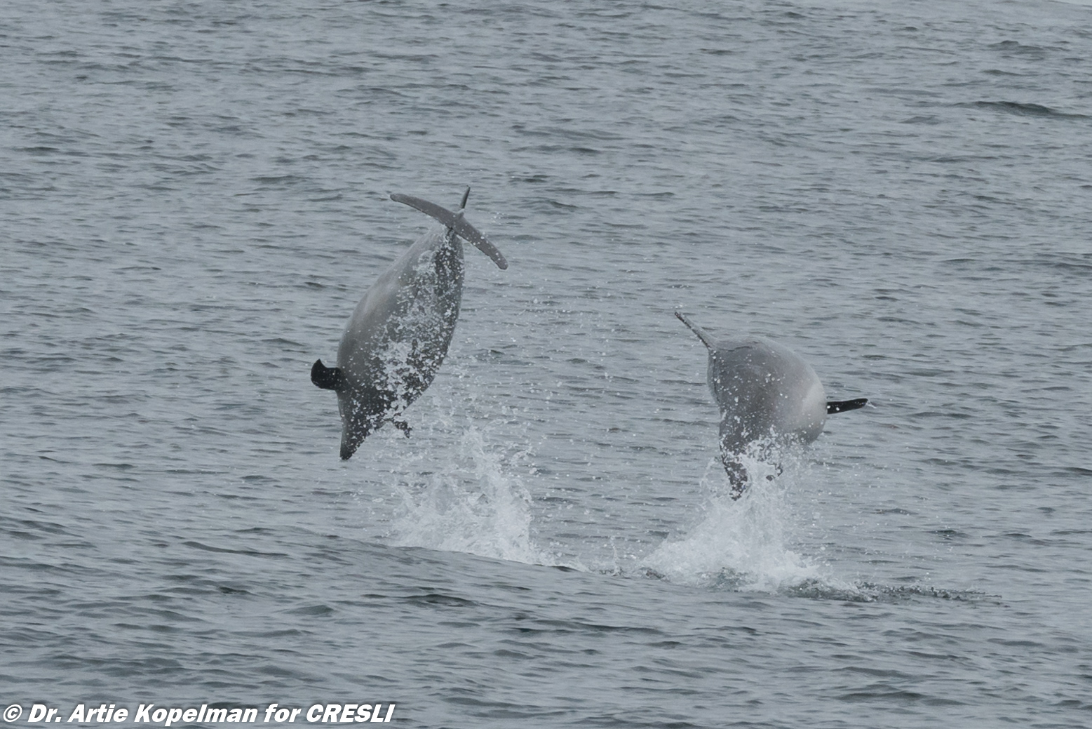 Offshore bottlenose dolphin in the Great South Channel (east of Nantucket)